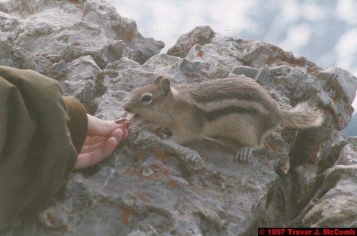 U.S.A.~Canada 517 ~ Alberta 018 ~ Banff 18 ~ Sulphur Mountain 4 ~ Rodent 4