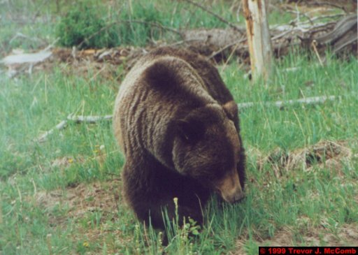 Canada 120 ~ Alberta 092 ~ Banff National Park 05 ~ From Lake Louise To Banff 5 ~ Grizzly Bear 5