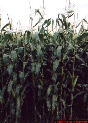 Canada~U.S.A. 162 ~ Vermont 032 ~ Corn 2