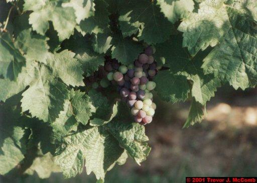 France 200 ~ Pays-de-la-Loire 119 ~ Chaintre 2 ~ Vineyard 2 ~ Grape Cluster