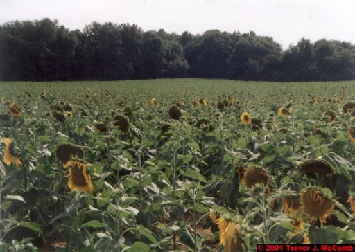 France 242 ~ Pays-de-la-Loire 142 ~ Fontevraud 3 ~ Sunflowers 2